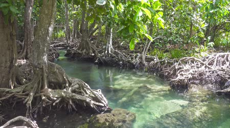 raiz : Tha pom mangrove forest. Swamp forest with roots and creek in Krabi Thailand, 4k Vídeos