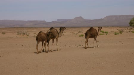 camelo : Group of camels walking in Sahara desert, 4k Stock Footage