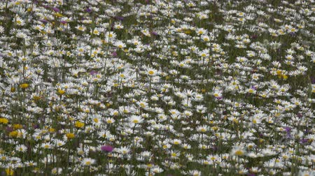 camomila : summer meadow with daisies, background 4k