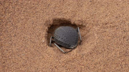 bogár : Scarab beetle digs a mink in the sand in the Sahara desert