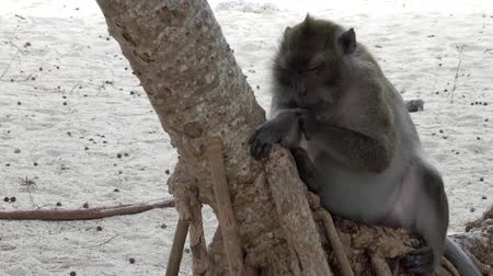 Fat monkey on tropical island beach in Thailand, 4k