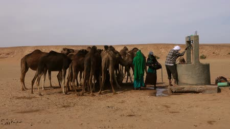 Berbers pour water for camels in the Sahara Desert, Morocco, Africa,4k Wideo