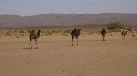 Group of camels walking in Sahara desert, 4k Stock mozgókép