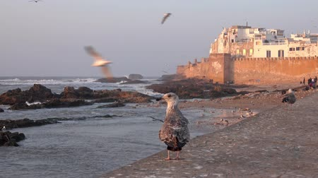 Walled city of Essaouira in Morocco at sunset and seagulls, 4k