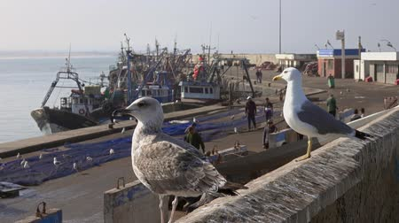 Essaouira fort and seagulls in Morocco, 4k Stock mozgókép