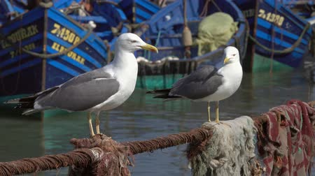 Blue fishing boats in the port of Essaouira and seagulls in the foreground, Morocco, 4k Stock Footage