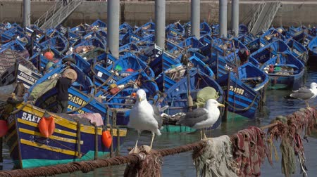 Blue fishing boats in the port of Essaouira and seagulls in the foreground, Morocco, 4k Wideo