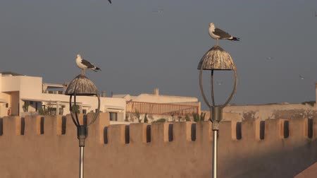 Seagulls on old lanterns at sunset, Essaouira city in Morocco, 4k