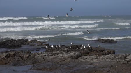 Seagulls flying over waves near the sea shore, slow motion Wideo