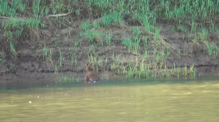 geyik : Elk cub swims along the river and goes ashore Stok Video