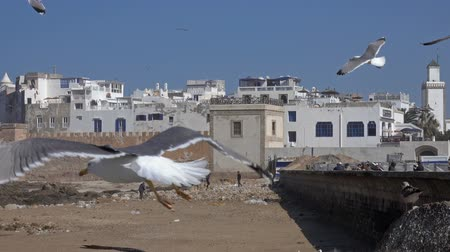 марокканский : Many seagulls in Essaouira old city on Atlantic coast, Morocco, 4k Стоковые видеозаписи