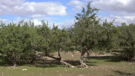 marokkó : Argan trees (Sapotaceae, Argania spinosa) in their natural habitat - in Morocco, 4k Stock mozgókép