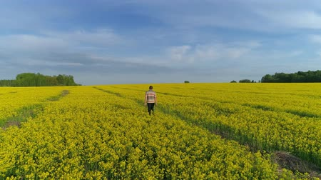 mustár : Aerial view on young man is walking in a yellow rapeseed field, 4k Stock mozgókép