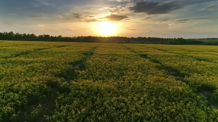 wschód słońca : Aerial view on beautiful flowering rapeseed field at sunset, 4k