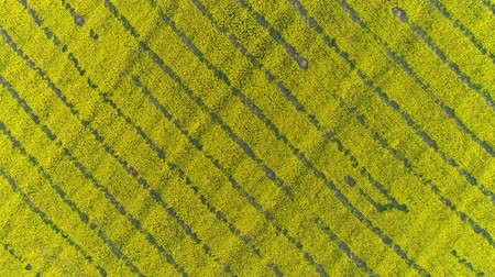 agricultural lands : Aerial top view on beautiful flowering rapeseed field, 4k