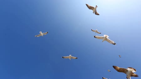 flying sea gull : Many seagulls fly against the blue sky in a sunny day