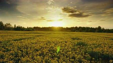 mosterd : Landscape with beautiful flowering rapeseed field at sunset, timelpase 4k