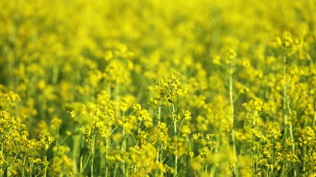 oleaginosa : agriculture field with rapeseed yellow flowers, 4k