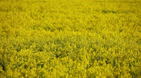 rape oil : agriculture field with rapeseed yellow flowers, 4k