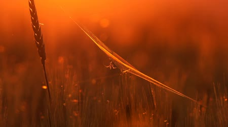 паук : Spider and cobweb on wheat ears close up at sunset, zoom in
