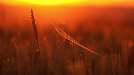 паук : Wheat coaster at sunset, 4k