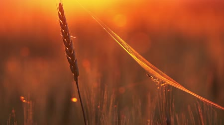 паук : Wheat cobweb close up at sunset, 4k Стоковые видеозаписи