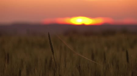 паук : Spider and cobweb on the ears of wheat at sunset, timelapse 4k