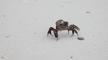 krab : Crab with raised claws walking on white sand beach closeup, 4k Stockvideo