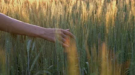 pszenica : Wheat, sunset, slow motion