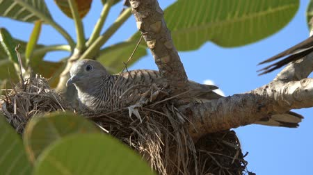 perching : Motley pigeon in Thailand Stock Footage