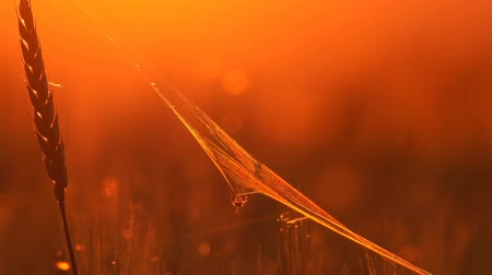 паук : Wheat spider and cobweb close up at sunset