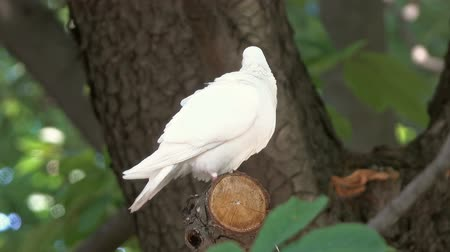 pigeon nest : white dove sitting on tree branch