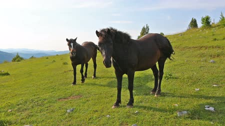 sérvia : Two dark brown horses graze in the hills, Serbia Vídeos