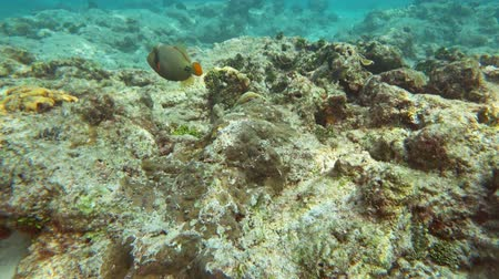 niger : Orange-Lined Triggerfish on coral reef in Andaman sea, Thailand Stock Footage