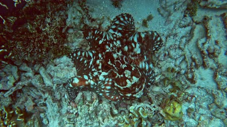 polip : Octopus among corals in the Andaman Sea, Thailand