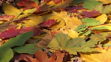 autumn leaves : background with autumn colorful leaves, 4k Stock Footage