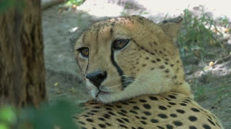 panthers : Lying jaguar closeup portrait Stock Footage