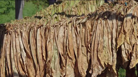 cigar : Wooden shed, 4k Stock Footage
