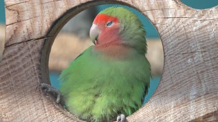perching : Nyasa Lovebird or Lilians lovebird, Agapornis lilianae Stock Footage