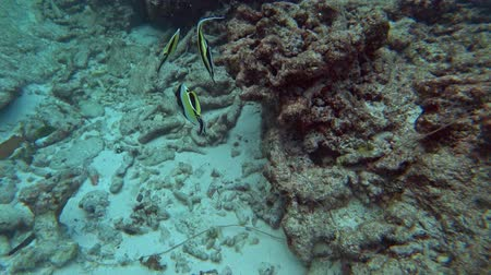 ploutve : Group of Pennant Coralfish or Longfin Bannerfish in the Andaman Sea, Thailand Dostupné videozáznamy
