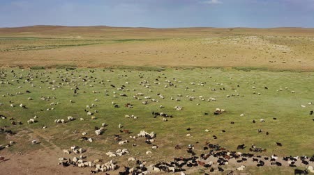 veulen : Aerial of grazing herds on pastures in Mongolia Stockvideo