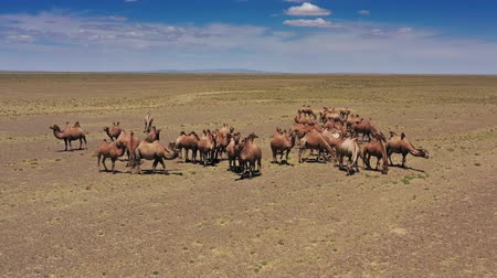 двойной : Aerial view of Bactrian camels group in Mongolia