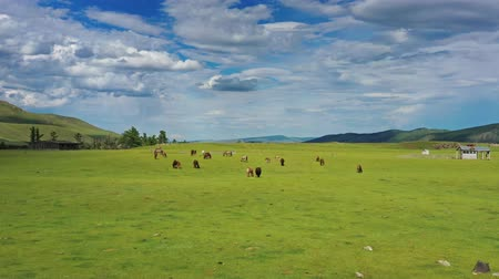 prairie : Aerial view of grazing horses in Mongolia Stock Footage