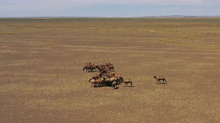 dvojitý : Aerial view of Bactrian camels in Mongolia