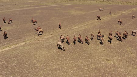 préri : Aerial view of Bactrian camels in Mongolia
