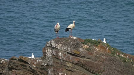 ooievaar : Storks on rocks and sea waves on coastline