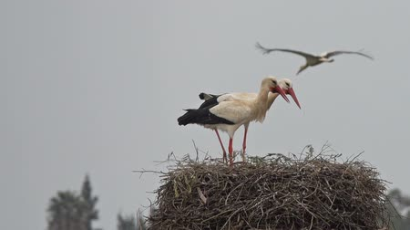 ooievaar : White storks banging beaks in a nest, Portugal