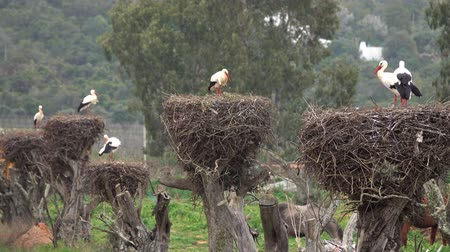mates : White storks in the nest, Portugal Stock Footage