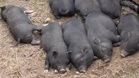 porquinho : Sleeping black little fun piglets
