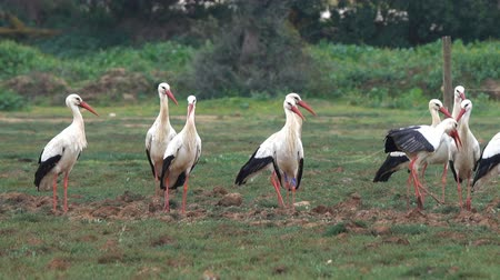 аист : flock of white storks resting in fields Стоковые видеозаписи
